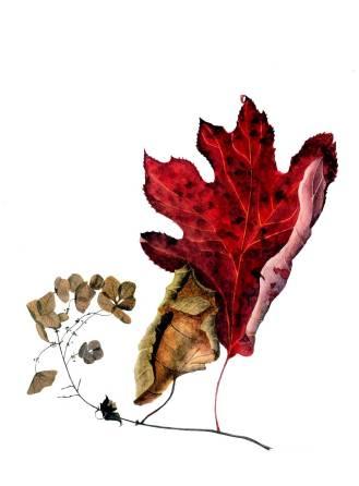 Oakleaf-hydrangea
