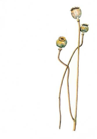 Oriental-poppy